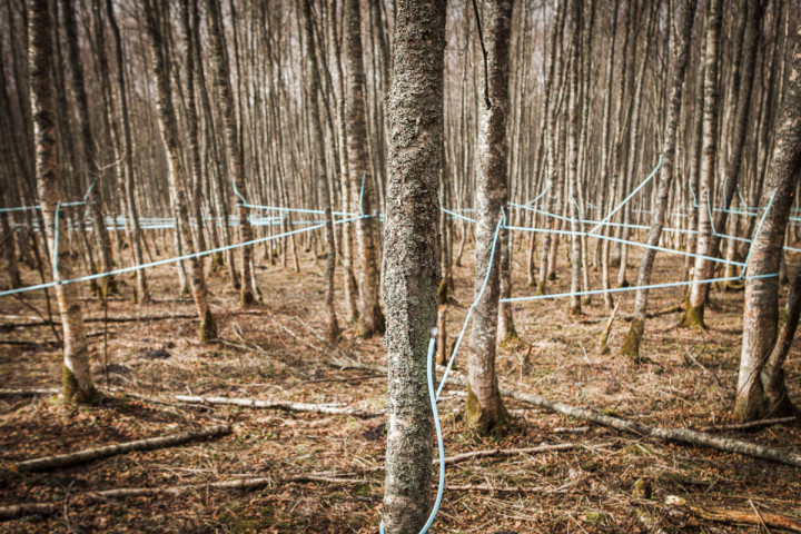 End Of The Birch Tapping Season